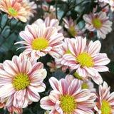 Ροζ λουλούδι στοκ φωτογραφία με δικαίωμα ελεύθερης χρήσης