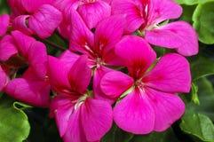 ροζ πελαργονίων χιονοθύ& στοκ εικόνα