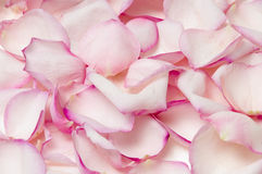 ροζ πετάλων ανασκόπησης Στοκ Εικόνες