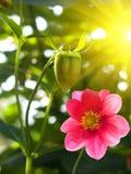 ροζ πετάλων κήπων λουλο&up Στοκ εικόνα με δικαίωμα ελεύθερης χρήσης