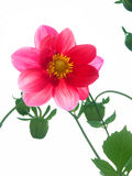 ροζ πετάλων λουλουδιών Στοκ Φωτογραφίες