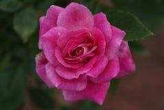 Ροζ πετάλων Στοκ Εικόνες