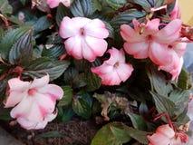ροζ πετουνιών λουλου&delt Στοκ Εικόνες