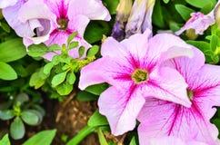 ροζ πετουνιών λουλου&delt Στοκ φωτογραφίες με δικαίωμα ελεύθερης χρήσης
