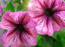ροζ πετουνιών λουλου&delt Στοκ Εικόνα
