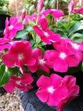 ροζ πετουνιών λουλου&delt Στοκ Φωτογραφίες