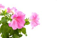 ροζ πετουνιών Στοκ Φωτογραφίες