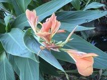 Ροζ πορτοκαλής ινδικός κρίνος πυροβολισμών ή Canna & x28 Canna Indica Λ & x29  λουλούδια από τη λίμνη στοκ φωτογραφία με δικαίωμα ελεύθερης χρήσης
