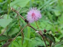 Ροζ στις άγρια περιοχές στοκ φωτογραφία με δικαίωμα ελεύθερης χρήσης