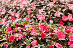 Ροζ της Νέας Γουϊνέας Impatiens Στοκ Φωτογραφία