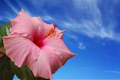 ροζ της Χαβάης λουλου&delt Στοκ φωτογραφία με δικαίωμα ελεύθερης χρήσης