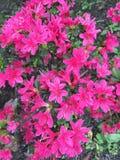 Ροζ του λουλουδιού Στοκ Εικόνα