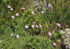 Ροζ τυριού Cheddar Στοκ φωτογραφία με δικαίωμα ελεύθερης χρήσης