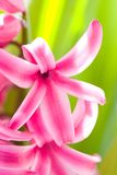 ροζ υάκινθων λουλουδ&iot Στοκ φωτογραφία με δικαίωμα ελεύθερης χρήσης