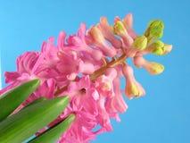 ροζ υάκινθων Στοκ Εικόνες