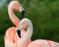 ροζ φλαμίγκο στοκ φωτογραφίες με δικαίωμα ελεύθερης χρήσης