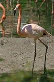ροζ φλαμίγκο Στοκ φωτογραφία με δικαίωμα ελεύθερης χρήσης