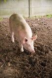 ροζ χοιρινό κρέας Στοκ φωτογραφία με δικαίωμα ελεύθερης χρήσης
