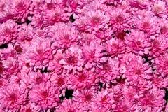 ροζ χρυσάνθεμων ανασκόπη&sig Στοκ Εικόνα