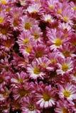 ροζ χρυσάνθεμων Στοκ Φωτογραφίες