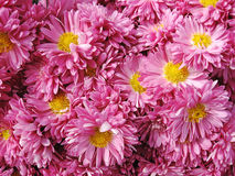 ροζ χρυσάνθεμων Στοκ φωτογραφία με δικαίωμα ελεύθερης χρήσης
