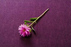 ροζ χρυσάνθεμων Στοκ Εικόνες