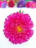 ροζ χρυσάνθεμων Στοκ εικόνα με δικαίωμα ελεύθερης χρήσης
