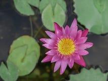 ροζ λωτού άνθισης Στοκ φωτογραφίες με δικαίωμα ελεύθερης χρήσης