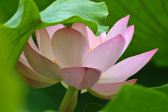 ροζ λωτού λουλουδιών ανθών Στοκ Φωτογραφία