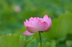 ροζ λωτού λουλουδιών ανθών Στοκ Εικόνες