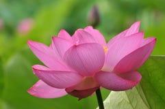 ροζ λωτού λουλουδιών ανθών Στοκ εικόνα με δικαίωμα ελεύθερης χρήσης