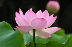 ροζ λωτού λουλουδιών ανθών Στοκ Εικόνα