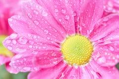 Ροζ Anthemideae χρυσάνθεμων που ανθίζει στη μακροεντολή κήπων Στοκ Εικόνες