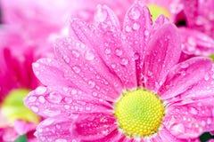 Ροζ Anthemideae χρυσάνθεμων που ανθίζει στη μακρο φωτογραφία κήπων Σαν υπόβαθρο Στοκ εικόνες με δικαίωμα ελεύθερης χρήσης