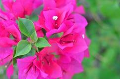 Ροζ bougainvillea ανθίσματος Στοκ εικόνες με δικαίωμα ελεύθερης χρήσης
