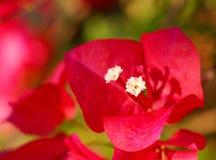 Ροζ Bougainvillea Στοκ Εικόνες