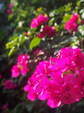 Ροζ Bougainvillea Στοκ Φωτογραφίες