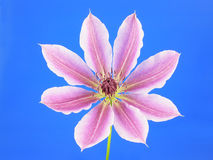 ροζ clematis Στοκ φωτογραφία με δικαίωμα ελεύθερης χρήσης