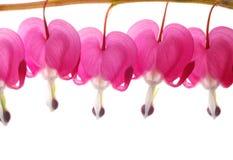 ροζ dicentra στοκ εικόνες