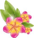 ροζ frangipani λουλουδιών διανυσματική απεικόνιση