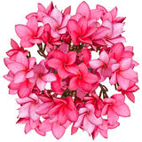 ροζ frangipani λουλουδιών Στοκ Φωτογραφίες