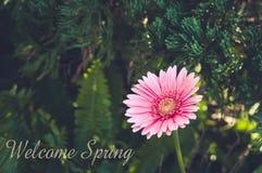 ροζ gerbera κήπων όμορφο ροζ gerbera Στοκ Φωτογραφίες