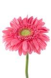ροζ gerbera λουλουδιών μαργαριτών Στοκ εικόνα με δικαίωμα ελεύθερης χρήσης