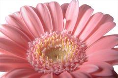 ροζ gerbera 02 Στοκ εικόνες με δικαίωμα ελεύθερης χρήσης