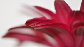 ροζ gerbera Στοκ Εικόνα