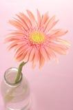 ροζ gerbera Στοκ Φωτογραφία