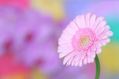 ροζ gerbera Στοκ εικόνα με δικαίωμα ελεύθερης χρήσης