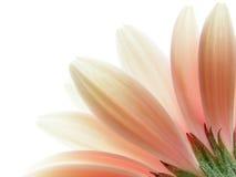 ροζ gerbera Στοκ φωτογραφίες με δικαίωμα ελεύθερης χρήσης