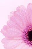 ροζ gerbera Στοκ εικόνες με δικαίωμα ελεύθερης χρήσης