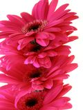 ροζ gerbera στοκ φωτογραφία με δικαίωμα ελεύθερης χρήσης